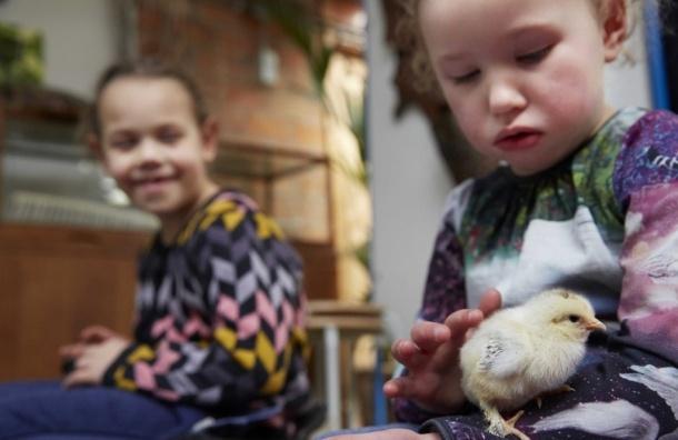Цыплята умнее детей - Британские ученые