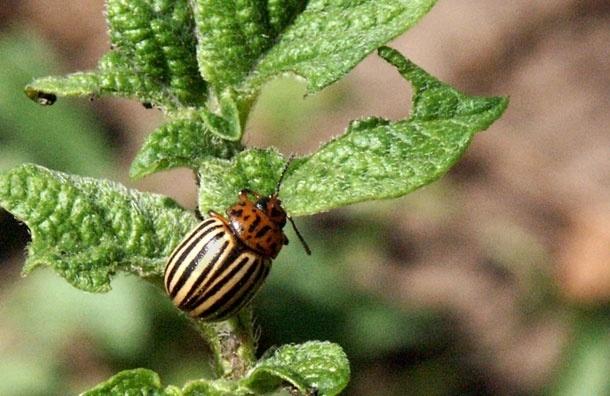 Подмосковные огороды атакуют жуки - урожай уже в опасности