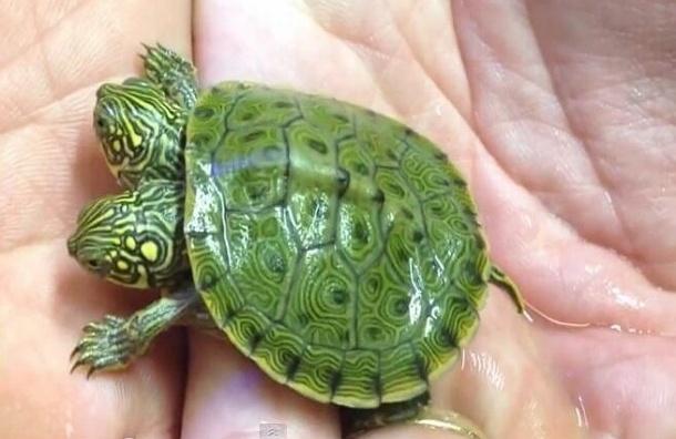 Редкая двуголовая черепаха предстанет перед посетителями зоопарка в Техасе - ВИДЕО