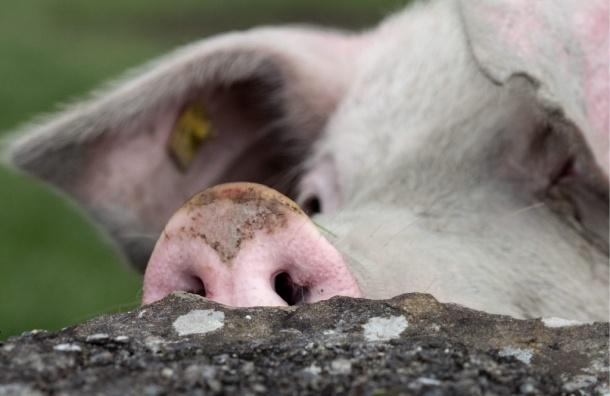Грузинские диверсанты заразили свиней чумой - Онищенко