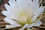 Цветение царицы ночи в Ботаническом саду 2013: когда