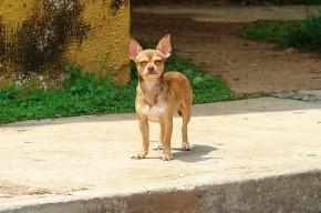 Мигрант открыто похитил у петербурженки собаку чихуахуа