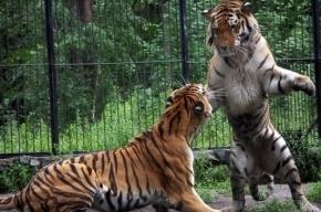 Тигры загрызли насмерть уборщицу новосибирского зоопарка