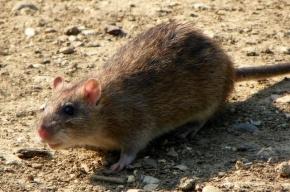Детский сад в Купчино подвергся нашествию крыс