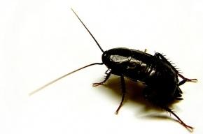 Войны гигантских черных и рыжих тараканов напугали жителей Казахстана