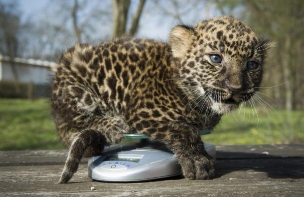 В Сочинском Центре разведения леопардов появились первые котята