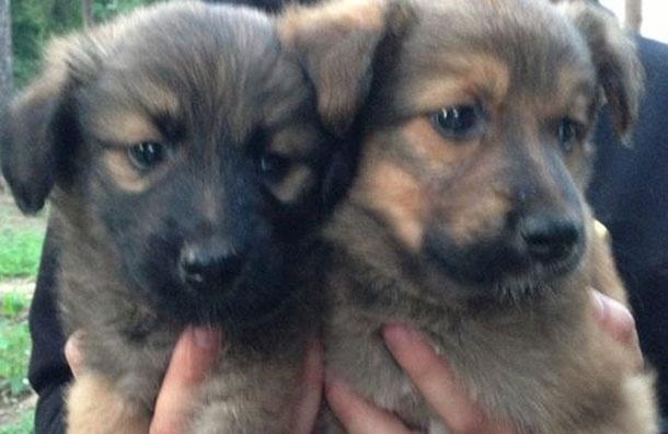 Нужна помощь: двум подкинутым щенкам