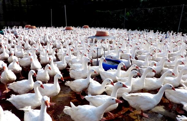 Осенью ученые ожидают пандемию птичьего гриппа H7N9
