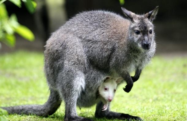 Работник китайского зоопарка устроил бой с кенгуру прямо в его вольере - ВИДЕО