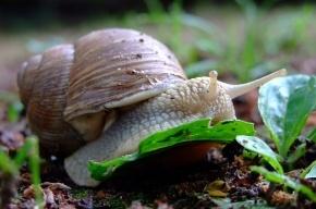 Прожорливые улитки опустошают садовые участки в Ленобласти
