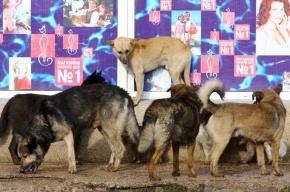 Стая бродячих собак атакует прохожих на Крестовском острове