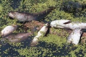 В Охтинском водохранилище массово гибнет рыба