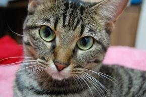 В Петербурге ветеринары лечат кота от кошачьего СПИДа