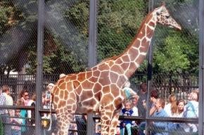 Помост для кормления жирафа рухнул в Московском зоопарке