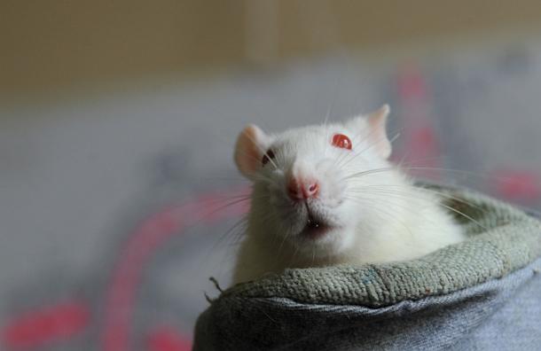 Ученые смогли имплантировать в мозг мышей фиктивные воспоминания