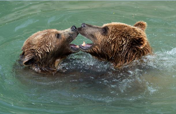 МЧС России эвакуирует бурых медведей из Благовещенска на вертолете