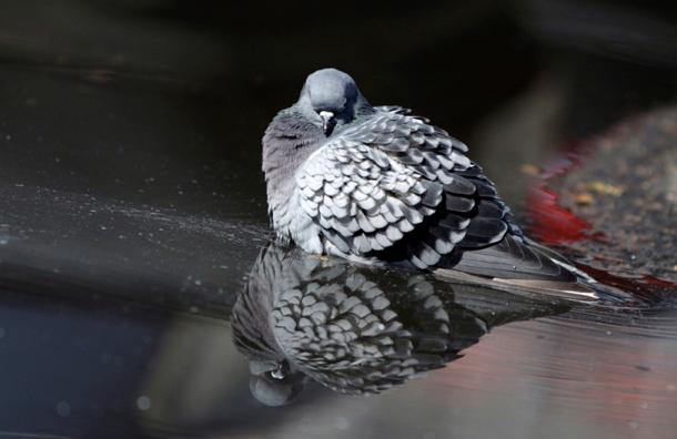 Онищенко запрещает брать в руки мертвых голубей