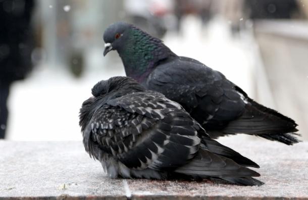Болезни московских голубей могут передаваться человеку