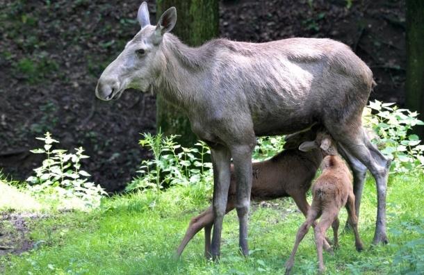 Лосиха напала на фотографа, защищая своего малыша - ВИДЕО