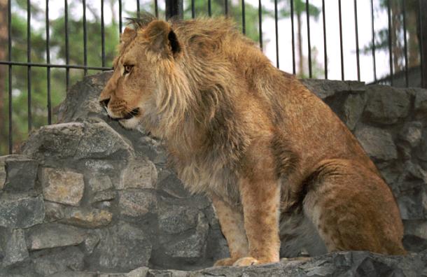 В китайском зоопарке тибетского мастифа выдавали за льва