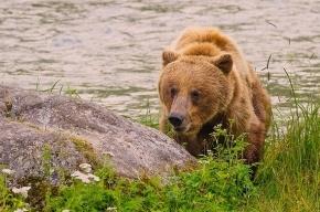 На Камчатке дачница бежала полтора километра, спасаясь от медведицы