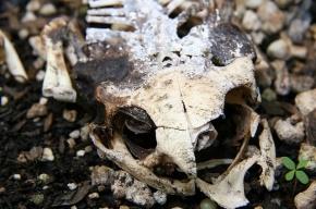 В Приморском районе строители нашли два скелета