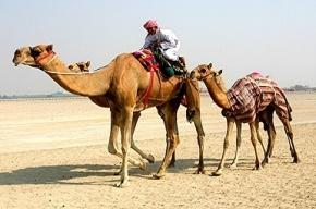 Верблюды могли стать переносчиками смертельного вируса