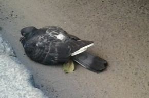 Массовая гибель голубей в Москве вызвана азиатской чумой