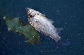 Росприроднадзор проверяет предприятия из-за гибели рыбы в Охте