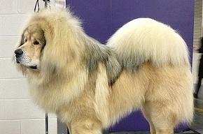 В китайском зоопарке собаку выдавали за африканского льва