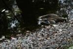 В парках Петербургаот непонятной болезни гибнут утки: Фоторепортаж
