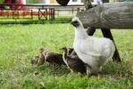 Фоторепортаж: «В Ленинградском зоопарке курица удочерила павлинят»