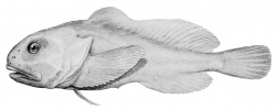 Рыба-капля: Фоторепортаж