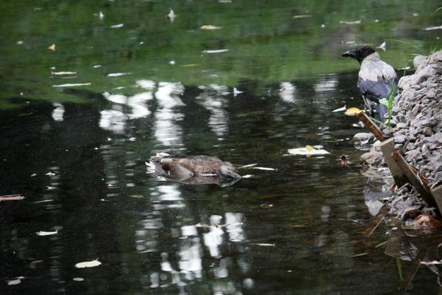 В парках Петербургаот непонятной болезни гибнут утки: Фото