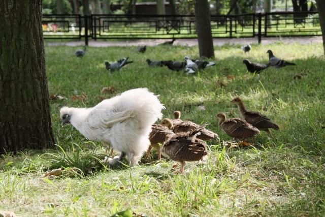 В Ленинградском зоопарке курица удочерила павлинят: Фото