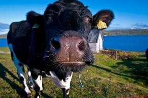 В Ленобласти коровы проломили голову мужчине