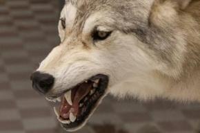В Казахстане бывший полицейский задавил напавшего волка голыми руками