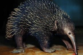 В зоопарке Москвы умерла единственная в Европе проехидна