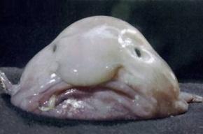 Рыбу-каплю признали самым уродливым животным на планете