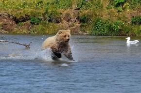 Медведь загрыз и скальпировал человека на Камчатке
