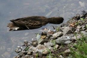 В парках Петербурга от непонятной болезни гибнут утки