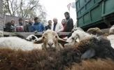 Фоторепортаж: «Забой скота на Курбан-Байрам»