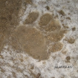 Нападение медведя на борщ 5 октября 2013 года.: Фото