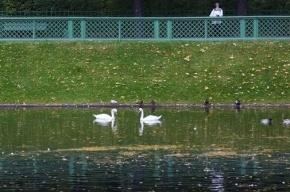 Лебеди из Летнего сада на зиму отправились в зоопарк