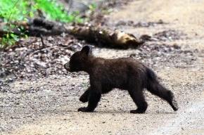 На Камчатке медведица привела медвежонка на стадион в Петропавловске