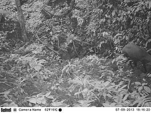 Впервые за 15 лет удалось сфотографировать редкое животное – саолу: Фото