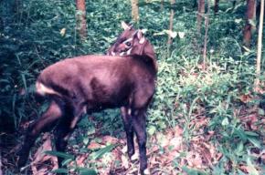 Впервые за 15 лет удалось сфотографировать редкое животное – саолу