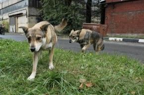 Петербург потратит 4,7 миллиона рублей на кастрацию бездомных собак