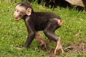 В Ленинградском зоопарке выбирают имя для обезьянки-младенца