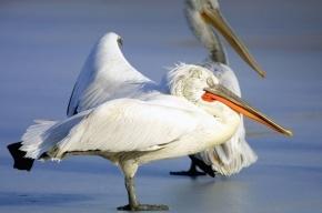Петербуржцы могут выбрать имена для пеликанов